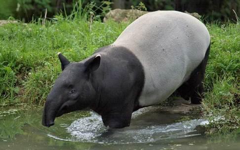 tapir-800